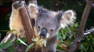 Découverte   Les koalas ont soif