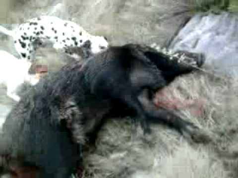 Young Dalmatian Dog Female In The First Hunt For Wild