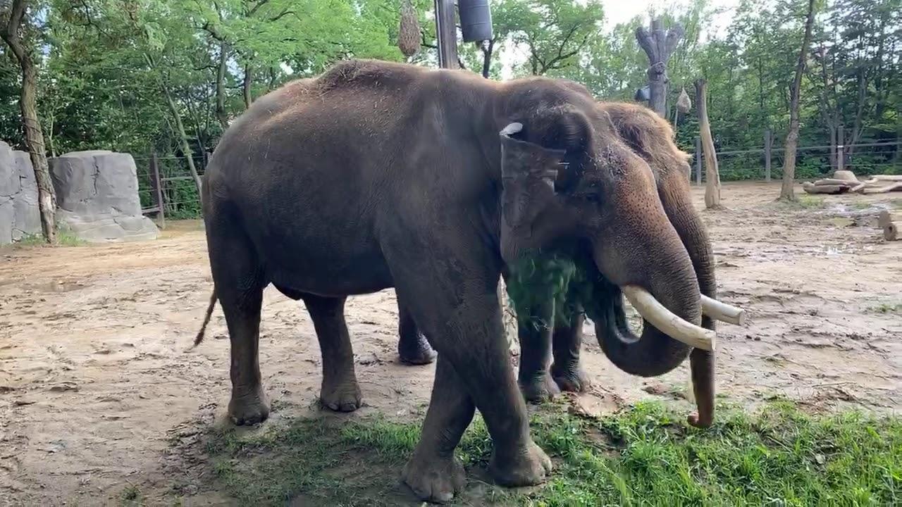 Home Safari – Asian Elephants Sabu and Jati – Cincinnati Zoo