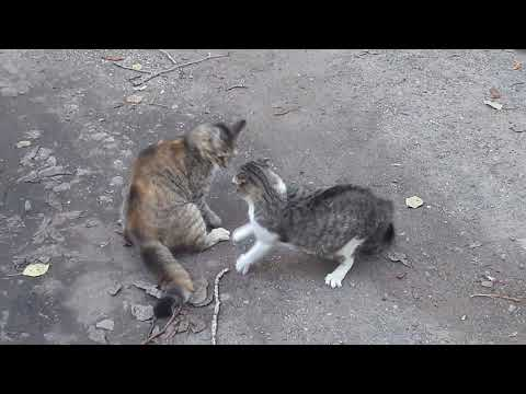 Crazy Cats Fighting 2018