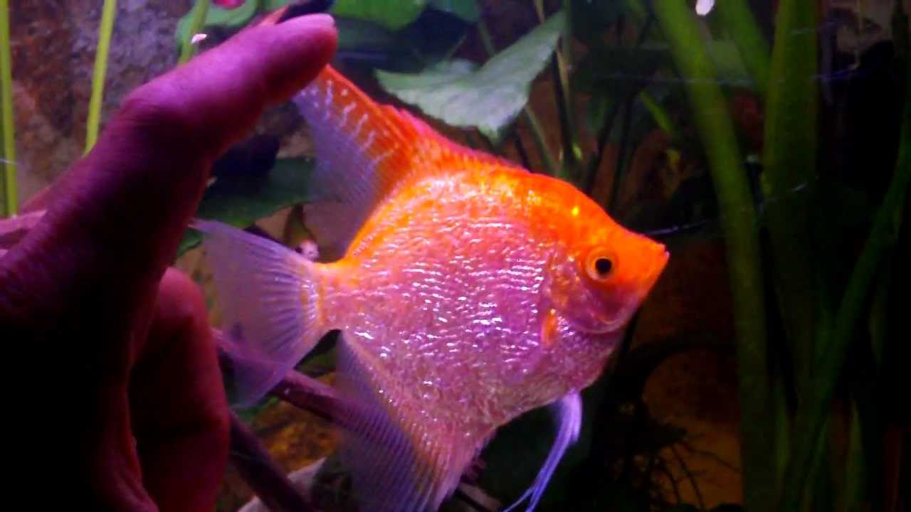 Giant Gold Angelfish Red Cap - YouTube