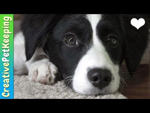 How I adopted Banana from PAWS Chicago! My dog adoption story #bordercollie