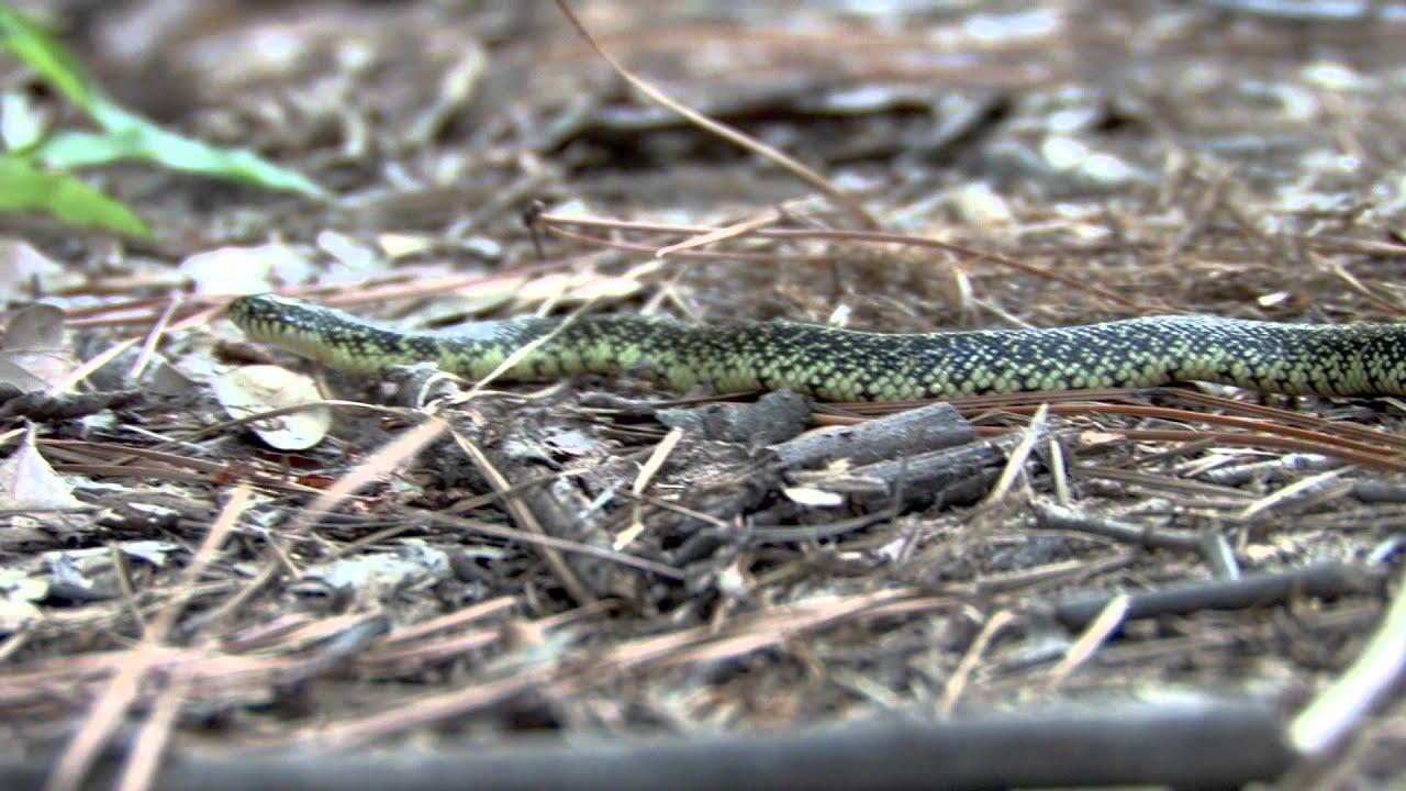 Of Speckled Kingsnake Speckled Kingsnake Images Speckled Kingsnake - Speckled kingsnake youtube