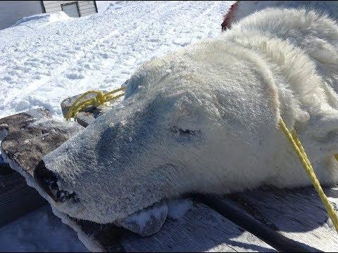Polar Bear Hunt 2019 (East Turnavick Island)