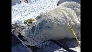Polar Bear Hunt 2019 (East Turnavick Island)