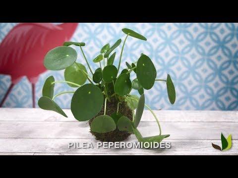 diy comment faire un pilea peperomioides en kokedama jardinerie truffaut tv youtube. Black Bedroom Furniture Sets. Home Design Ideas