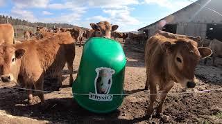 Une journnée bien tranquille des vaches au bâtiment l'hiver - Aubrac de Bouton
