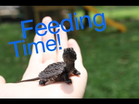 Baby Snapping Turtle Feeding!