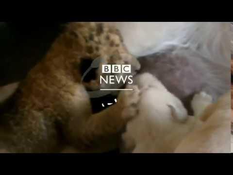بي_بي_سي_ترندينغ  | #بالفيديو: شبل أسد يرضع من كلبة بعد أن تخلت عنه أمه  - نشر قبل 2 ساعة