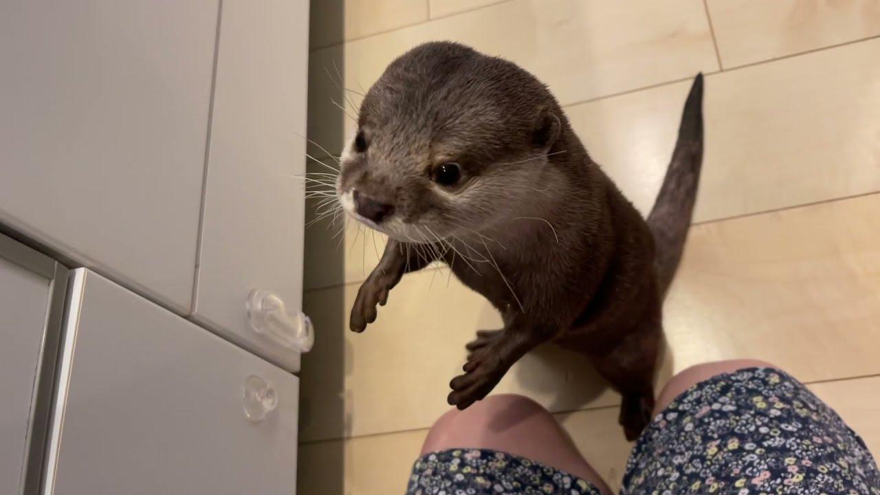 話せるようになり人語を理解し始めたカワウソ otter who has become able to speak and has begun to understand human language