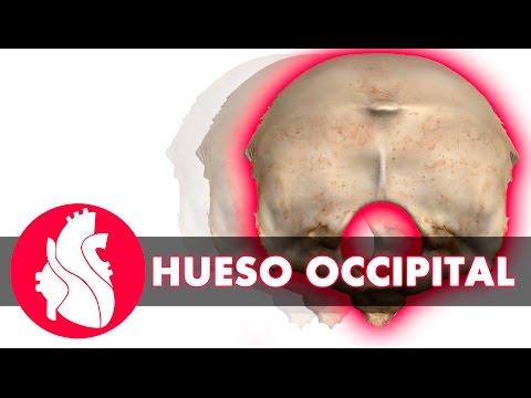 [3D] Osteología craneal - Occipital