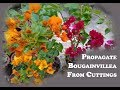 How to propagate bougainvillea from cuttings Download MP3