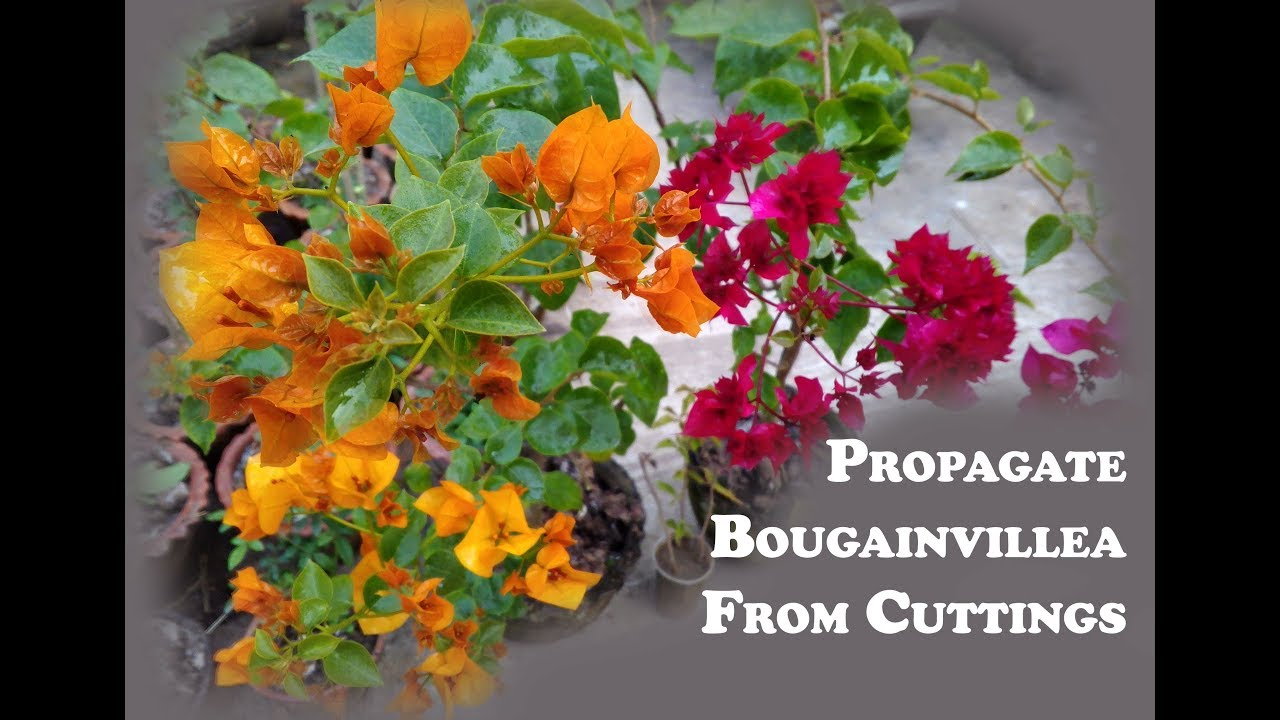 how to propagate bougainvillea from cuttings