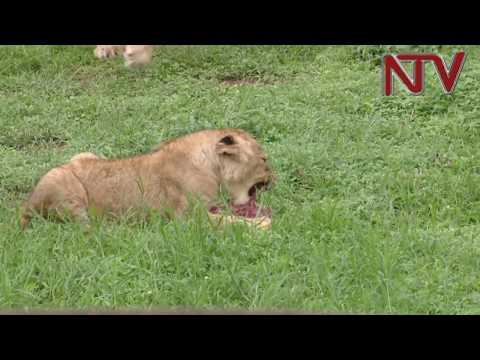 MPs blame Wildlife Authority officials over the death of Lions in Queen Elizabeth