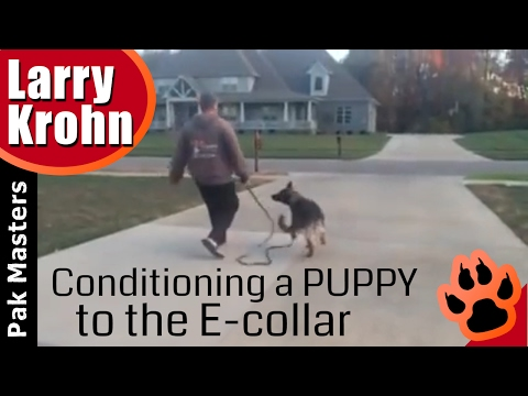 Conditioning a German Shepherd puppy to the e-collar / electronic remote collar / first lesson