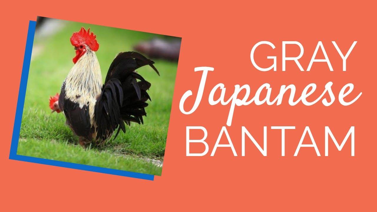 Gray Japanese Bantam Chicks for Sale | Chickens For Backyards