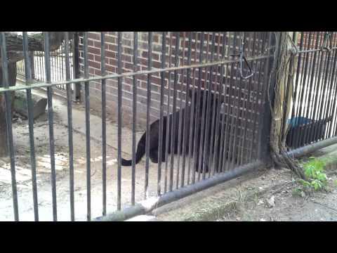 Black jaguar scary jaws ZOO Hodonín