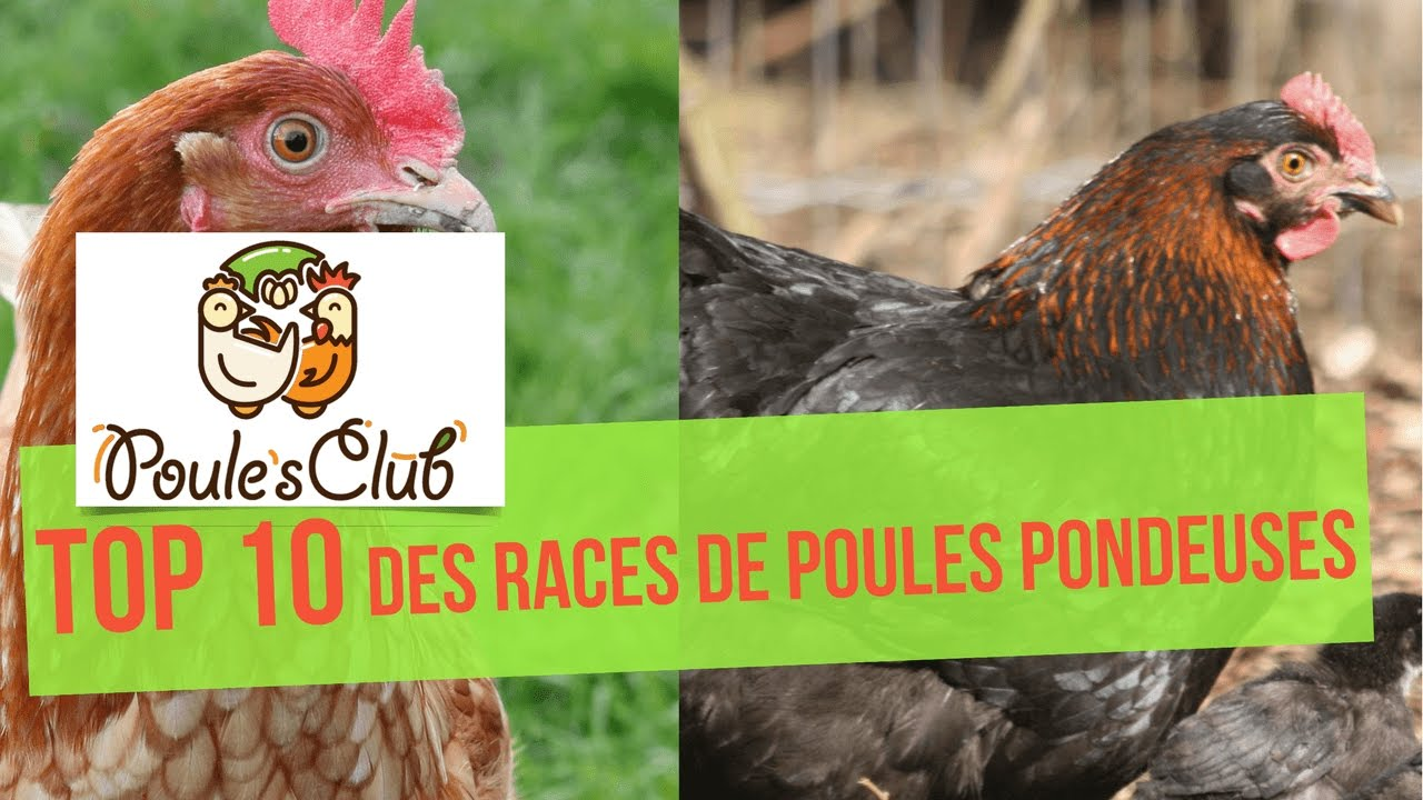 poule pondeuse top 10