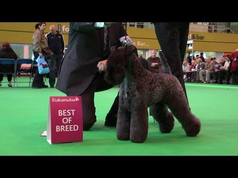 Crufts Kerry Blue Terrier Best of Breed 2012 - Ch Perrisblu Kennislains Chelsey