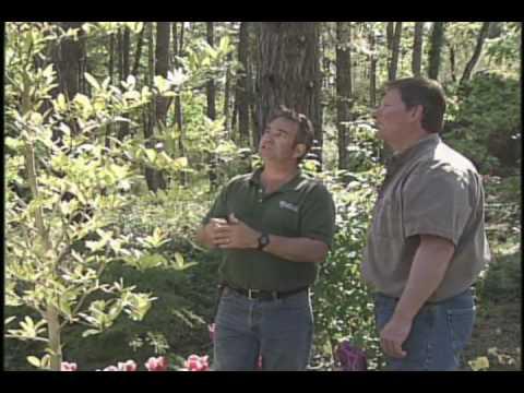 Pruning Star Magnolia Youtube