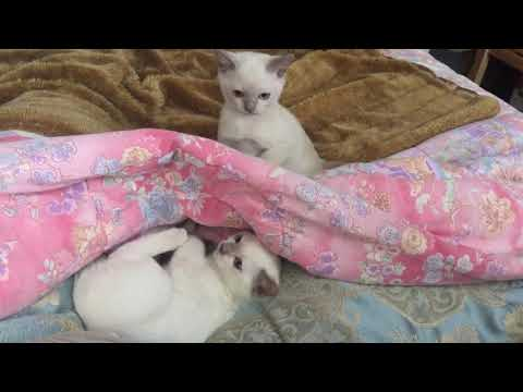 Elinga Tonkinese Cattery  kittens are playing in the morning