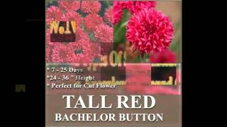 Tall Red Bachelor Button Seed - Centaurea Cyanus Cornflower  Flower Seeds On  Www.myseeds.co
