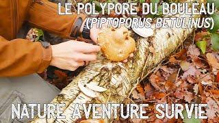 Le Polypore du bouleau (Champignon multi-usages)