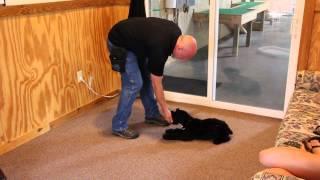 Xain Puppy Obedience Giant Schnauzer Puppy 3 Months Old