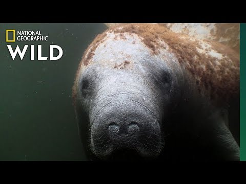 Manatees Are The