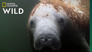 "Manatees Are the ""Sea Cows"" of the Coasts 