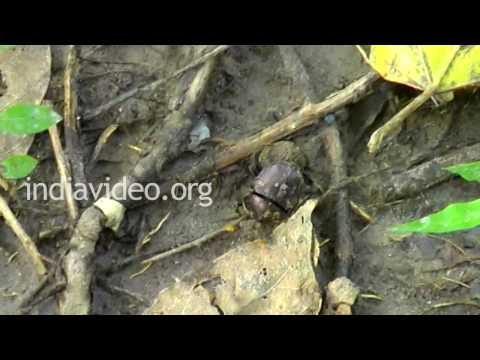 Dung Beetle, Uttarakhand