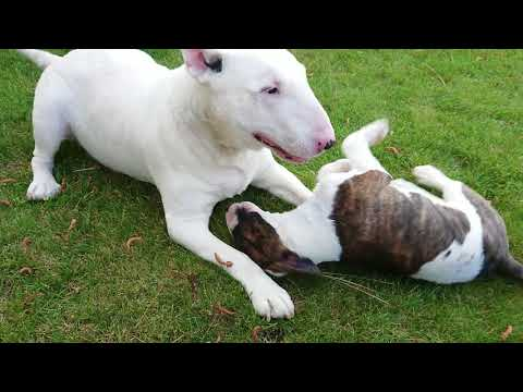 The first meeting, Truly the bull terrier