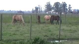 Mare in Heat Behavior - Lead Horse Flehmen - Rick Gore Horsemanship