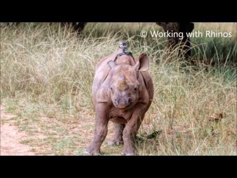 GoPro on a Critically Endangered Black Rhino