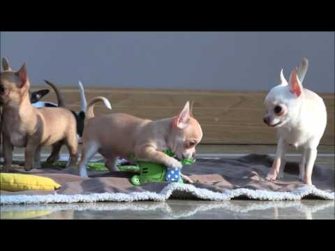 Chihuahua Puppies 18th January 2017
