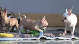 Chihuahua Puppies 18th January 2017