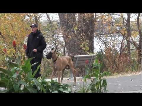 Kilo (Great Dane) Dog Training Boot Camp Video