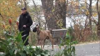 Kilo (Great Dane) Dog Training Boot Camp Video
