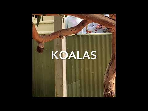 🐨Koalas And Kangaroos 🦘 @ Maru Koala Park