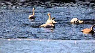 水浴びする白鳥.