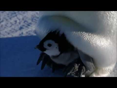 Emperor Penguin chick - Auster Rookery