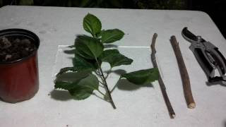 How to Grow Cuttings | Stem Cutting Propagation | Monsoon Season (Urdu/hindi)