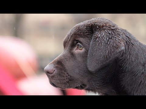 Puppy Training - Building Physical and Mental Resilience through Environmental Socialization Part 2