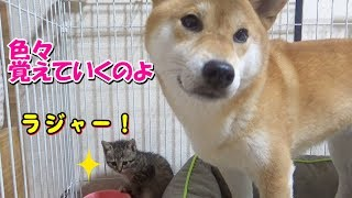 柴犬の行動を見て学習する子猫---The kittens learn by looking at Shiba Inu's behavior---