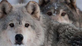 #4197. Волки, койоты и шакалы (В мире животных)