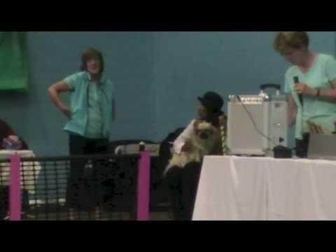 Dargo the Tibetan spaniel the greatest human dog trainer in the world!