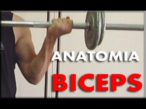 La anatomia de los biceps | Aprovechar los diferentes agarres para ...