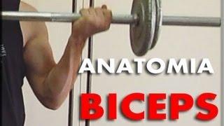 La anatomia de los biceps   Aprovechar los diferentes agarres para ganar masa muscular en los biceps