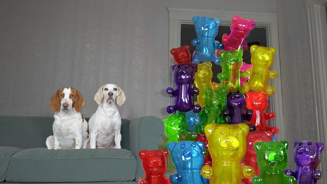 Dogs vs Giant Gummy Bear Army Prank: Funny Dogs Maymo & Potpie Surprised by Gummy Bears