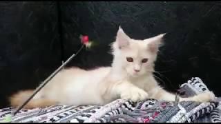 Brandon Мейн-Кун окраса Красный мрамор на серебре (ds 22)